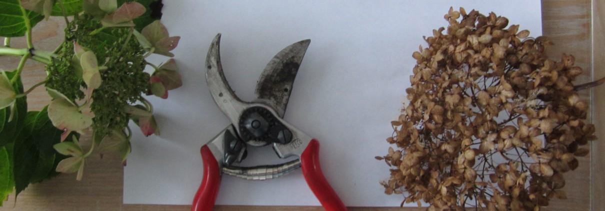Horetensia snoeien per soort