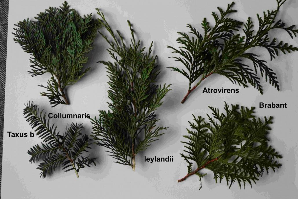 Tuin Hagen Soorten : Coniferen soorten voor een haag overzicht ultima flora
