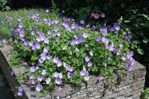 Lang bloeiende Geranium Rozanne