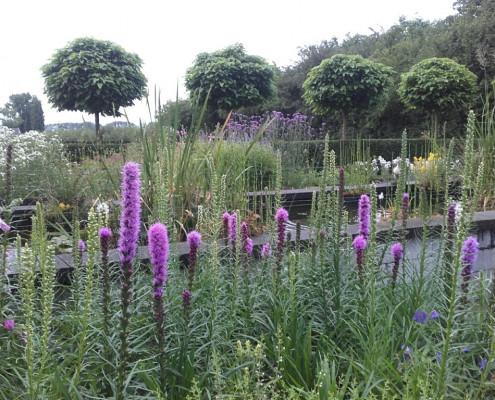 Liatris spicata bij vijver in Wageningen