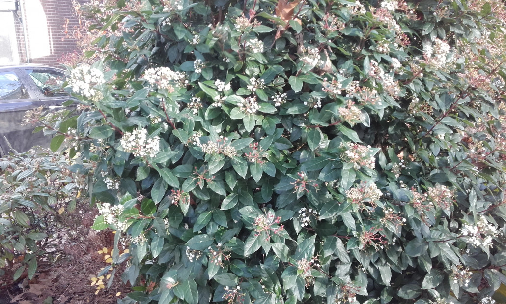 Struiken Met Bloemen Voor In De Tuin.Groenblijvende Struiken Met Bloemen Ultima Flora