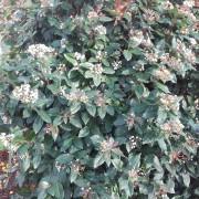 Groenblijvende struik in bloei